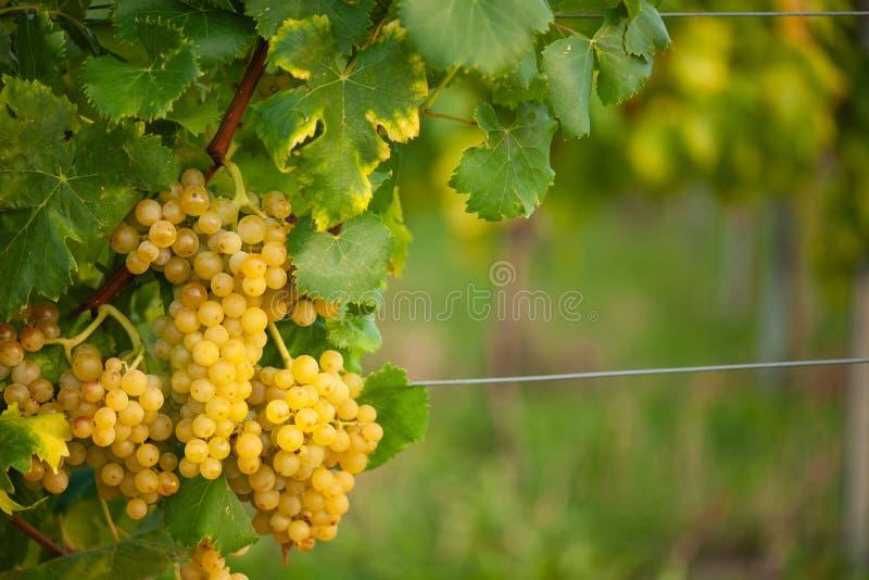 Reifer Weinberg der weißen Traube n im Herbst kurz vor Ernte lizenzfreies stockfoto