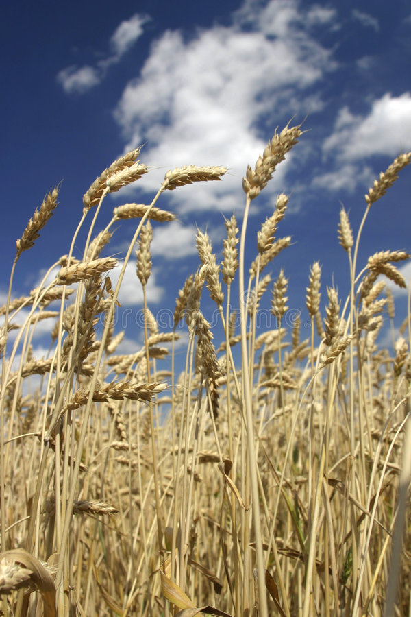 Reifer Weizen. lizenzfreie stockfotografie