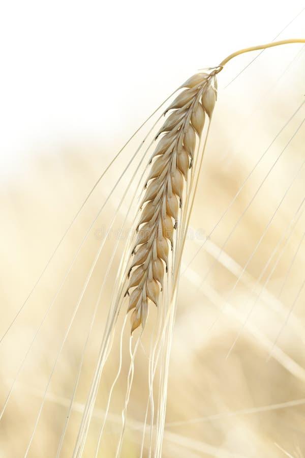 reifer Weizen stockbilder