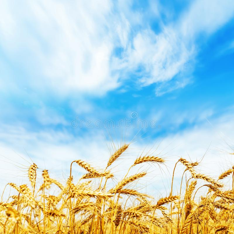 Reifer Weizen auf Feld Herbstblattrand mit verschiedenem Gemüse auf weißem Hintergrund stockfotos