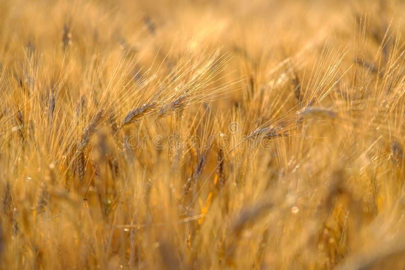 Reifer Weizen, der in den Wind beeinflußt stockfoto