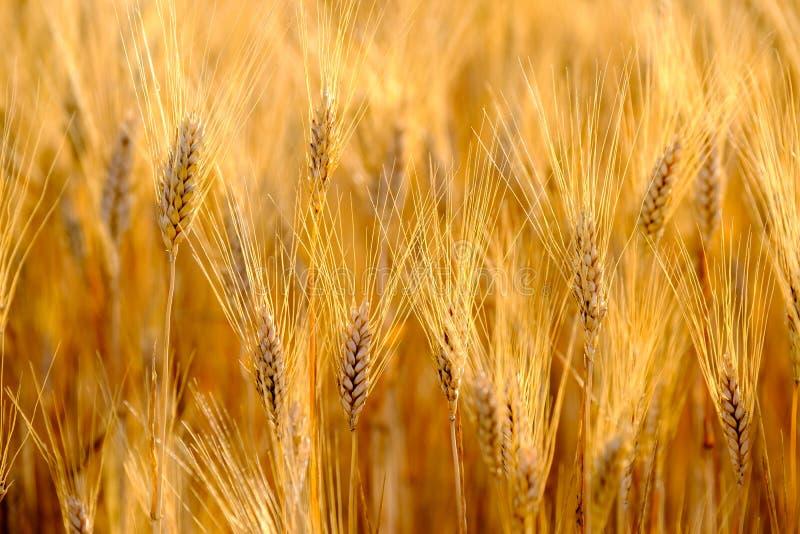 Reifer Weizen, der in den Wind beeinflußt lizenzfreie stockfotografie