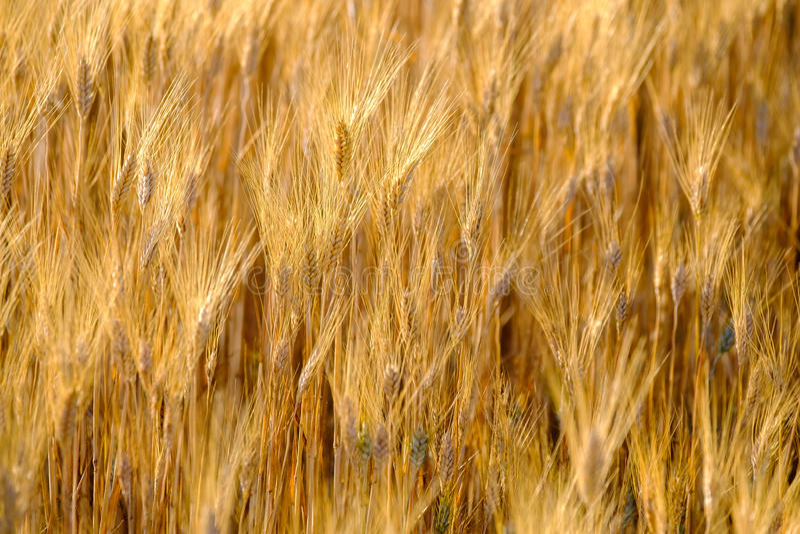 Reifer Weizen, der in den Wind beeinflußt lizenzfreie stockbilder