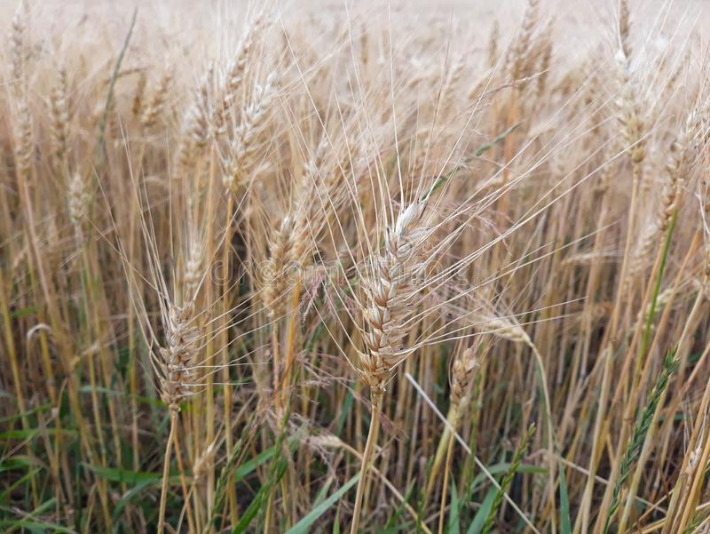 Reifes Getreide auf dem Feld lizenzfreie stockbilder