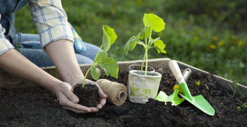 Reifes M?dchen, das in ihrem Hinterhof im Garten arbeitet Niedrige Abschnittmädchenhand mit Sprösslingen lizenzfreies stockbild
