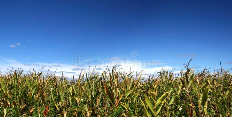 Reifes Maisfeld unter Himmel stockbilder