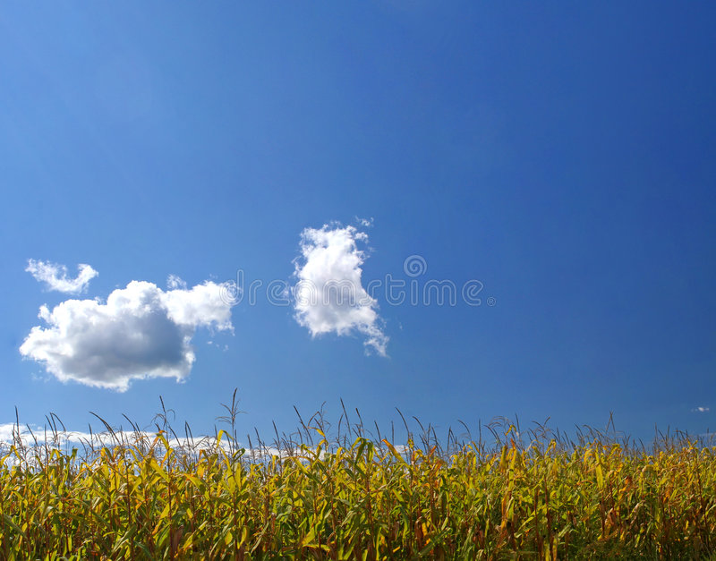 Reifes Maisfeld unter Himmel lizenzfreies stockbild