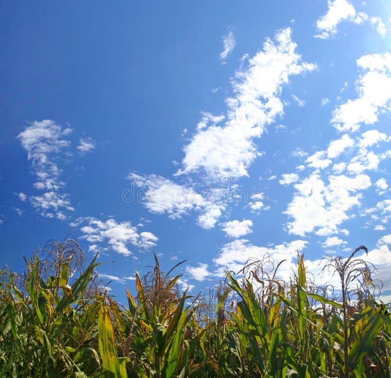 Reifes Maisfeld unter Himmel lizenzfreie stockbilder