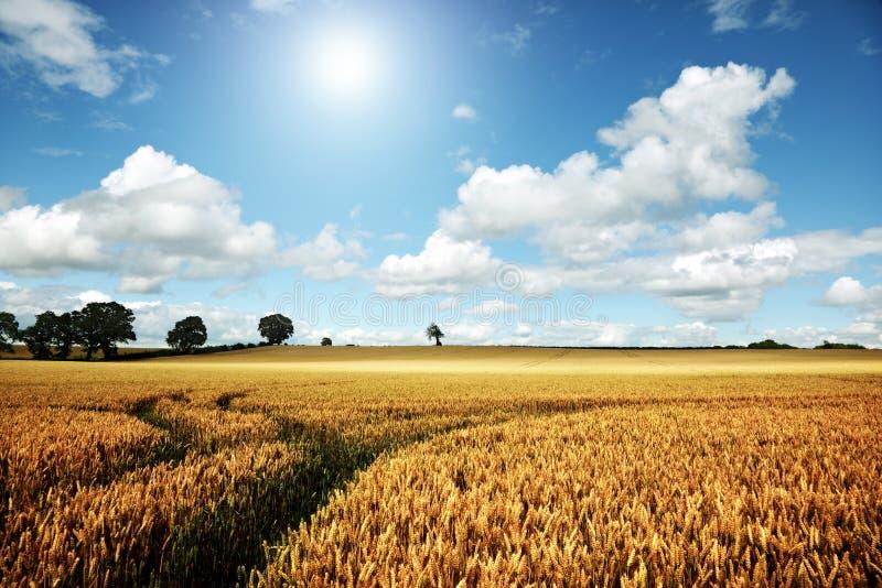 Reifes Weizenfeld an einem Sommertag lizenzfreies stockfoto