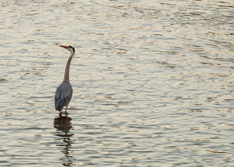 Reiger die geduldig voor vissen in de rivier jagen stock afbeelding