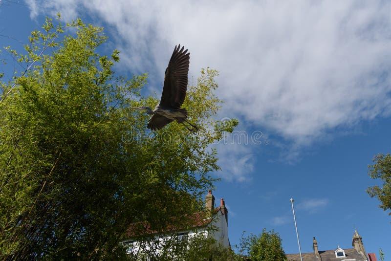 Reiger die met vleugels volledig open in Cambridge vliegen royalty-vrije stock fotografie