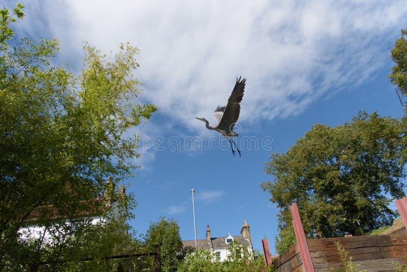 Reiger die vlak na het opstijgen in Cambridge, Engeland vliegen royalty-vrije stock foto's