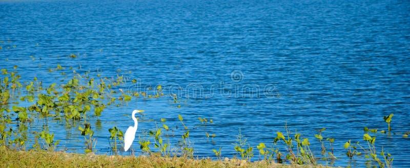 Reiger door het meer stock fotografie