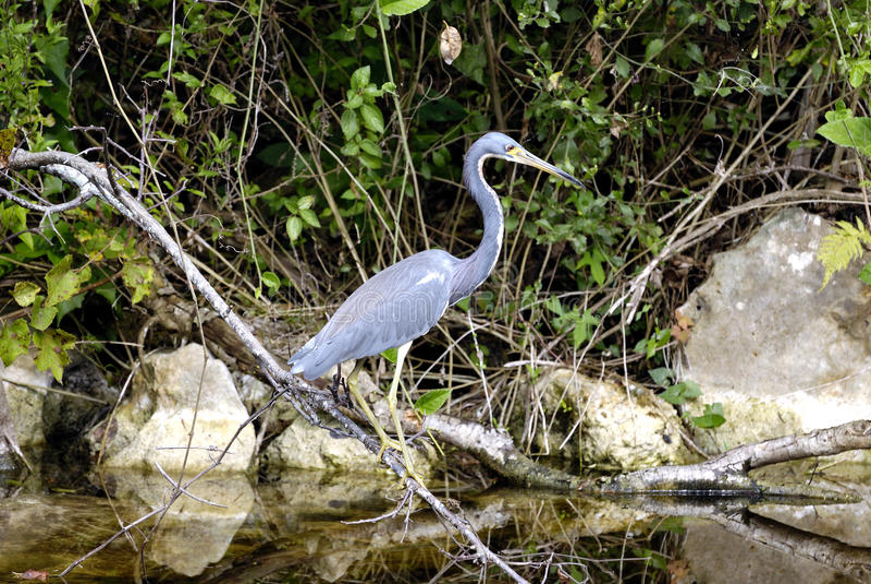 Reiger, Everglades, Florida royalty-vrije stock fotografie