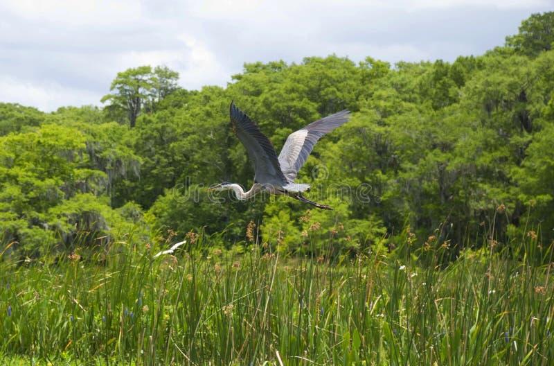Reiger flyng in het moeras royalty-vrije stock afbeelding