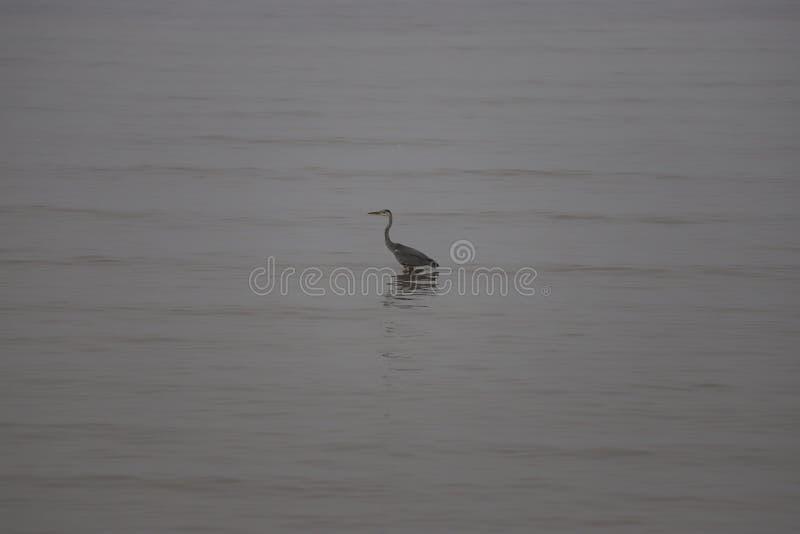 Reiger tijdens de vloed in het Bohai-overzees stock afbeelding