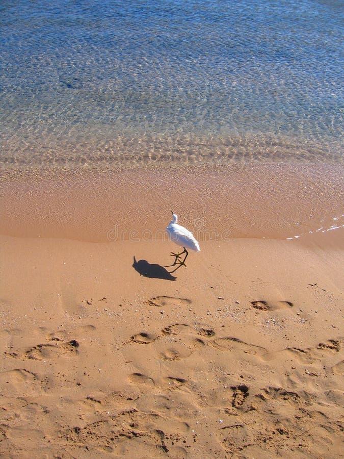 Reigerlooppas langs de zandige kust van het rode overzees royalty-vrije stock foto's