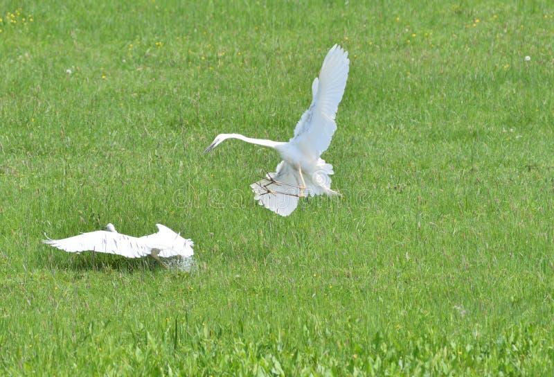 Reigersstrijd voor hun grondgebied in een weide met moerassen stock foto