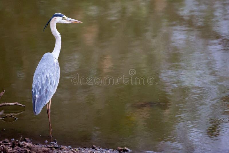 Reigervogel die water overzien royalty-vrije stock fotografie