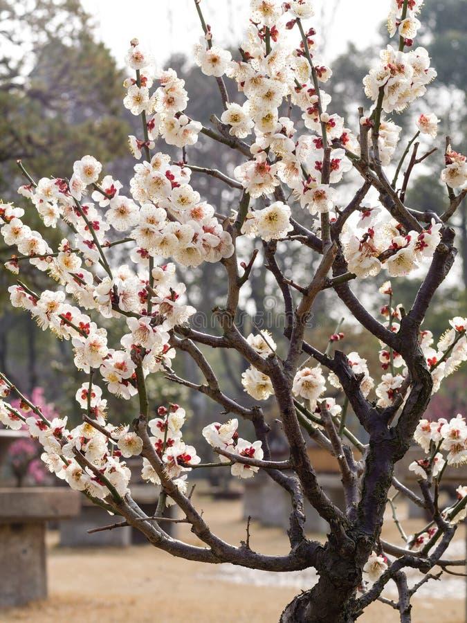 Reihe der Blumen im Frühjahr: weiße Pflaume (Bai-mei auf Chinesisch) bloss stockbilder