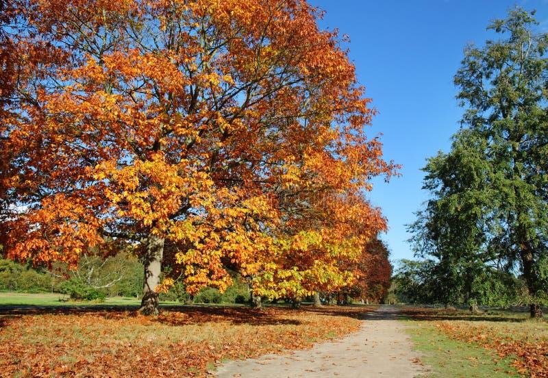 Reihe der englischen Eichen-Bäume in den Herbstfarben lizenzfreies stockbild