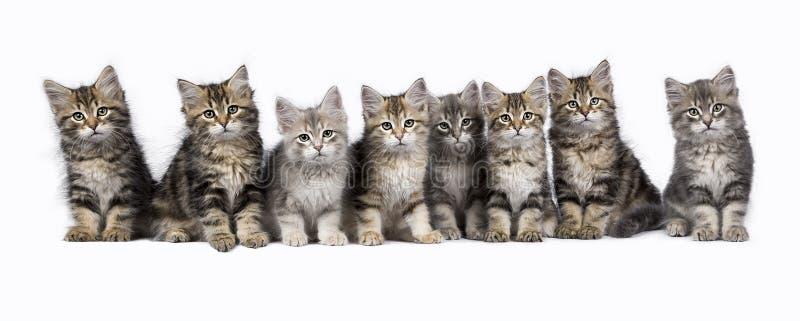 Reihe der sibirischen Waldkatze/-kätzchen lokalisiert auf weißem Hintergrund lizenzfreie stockfotos