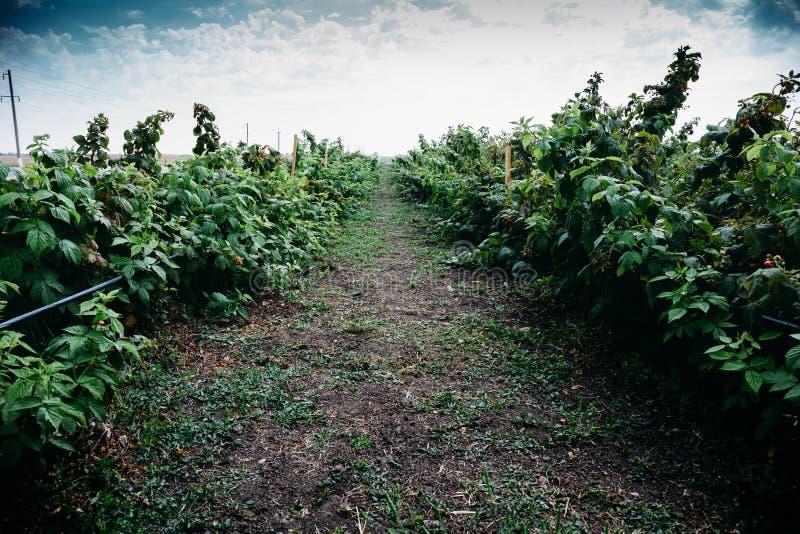 Reihe des Himbeerbusches auf dem Bauernhoffeld, der Landwirtschaft und wachsenden gesunden dem Lebensmittelkonzept stockfotos