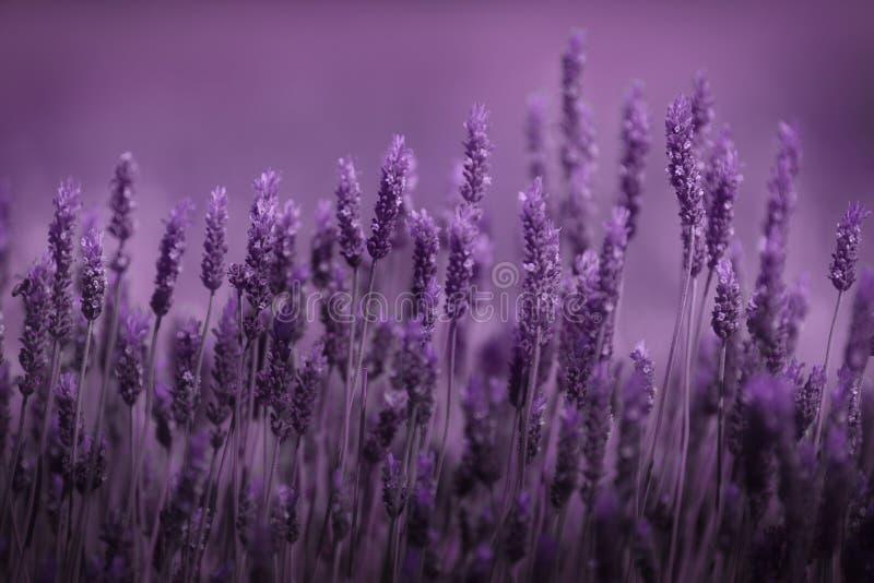 Reihe des Lavendels stockbilder