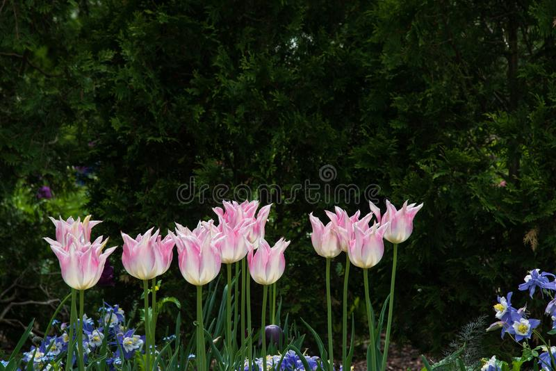 Reihe des rosa Tulpenblühens hoch im Garten stockbilder