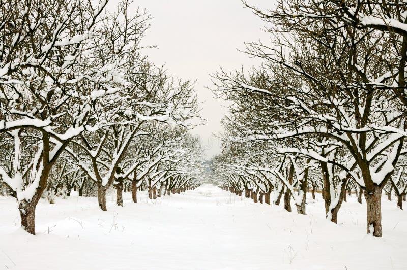 Reihe durch Winterobstgarten lizenzfreies stockfoto