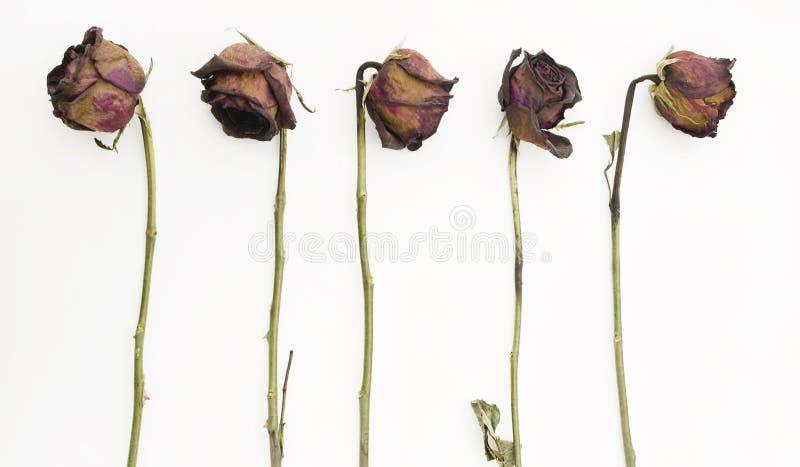 Reihe von 5 alten getrockneten roten Rosen stockfoto