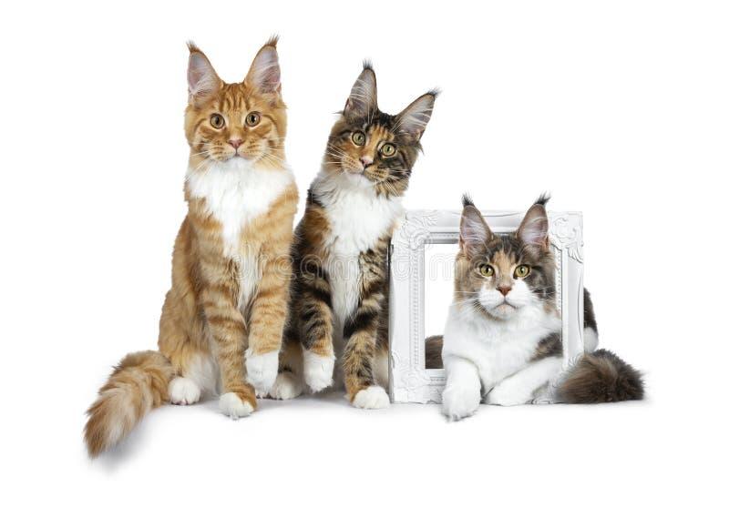 Reihe von drei Maine Coon-Katzenkätzchen, zwei sitzend und durch einen weißen Bilderrahmen an dritter Stelle legend, ganz gerade  lizenzfreies stockbild