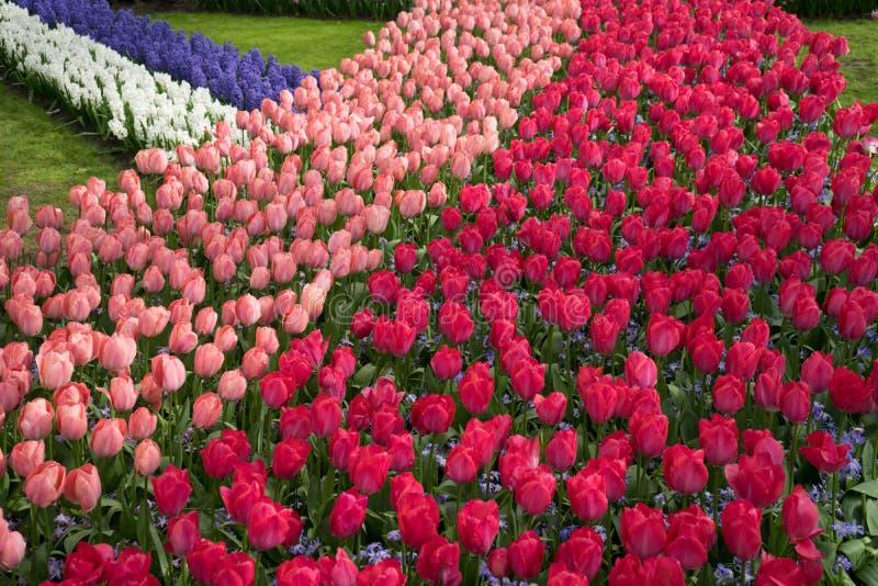 Reihe von farbigen Tulpen an einem Garten in Lisse, die Niederlande, Europa stockfotos