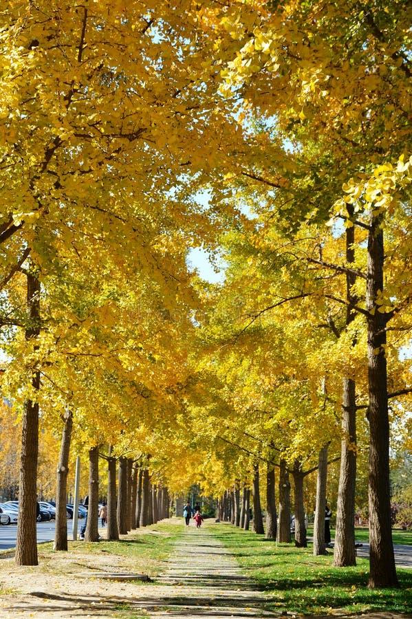 Reihe von Ginkgobäumen im goldenen Herbst stockbild