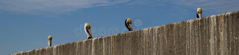 Reihe von Pelikanen lizenzfreie stockfotos