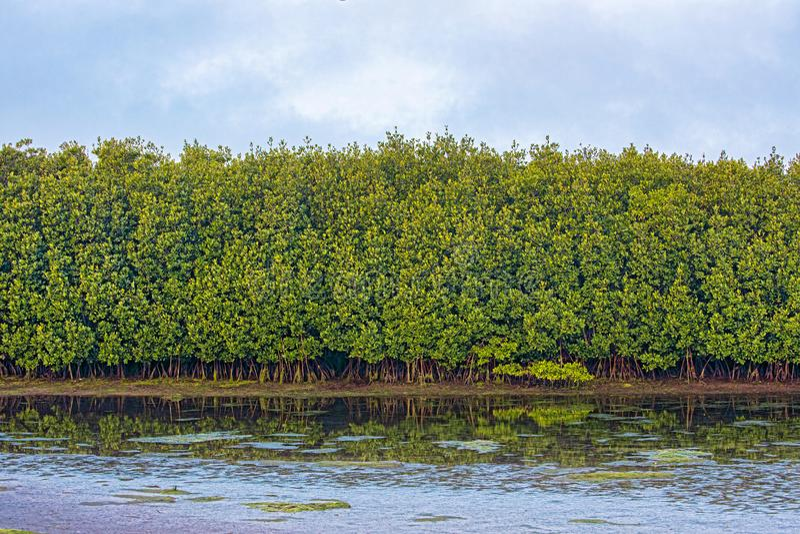 Reihe von Salzwasser-Mangroven stockbilder