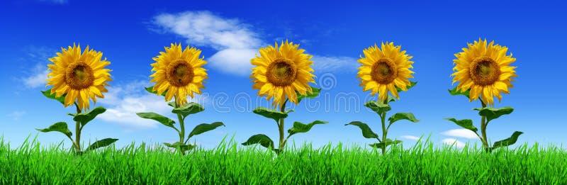 Reihe von Sonnenblumen auf gr?nem Gras - Panorama stockfoto