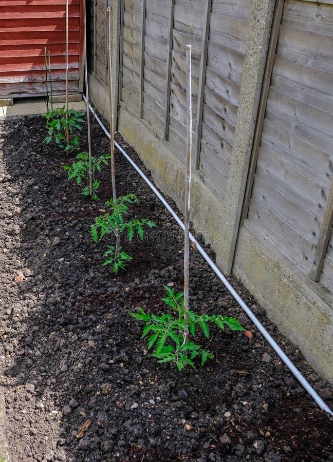 Reihe von vier SämlingsTomatenpflanzen im Boden und zu Bambusstöcke befestigt stockfotos