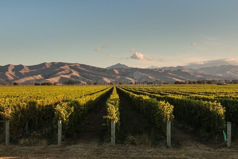 Reihen der Rebe im Weinberg bei Sonnenuntergang stockfotos