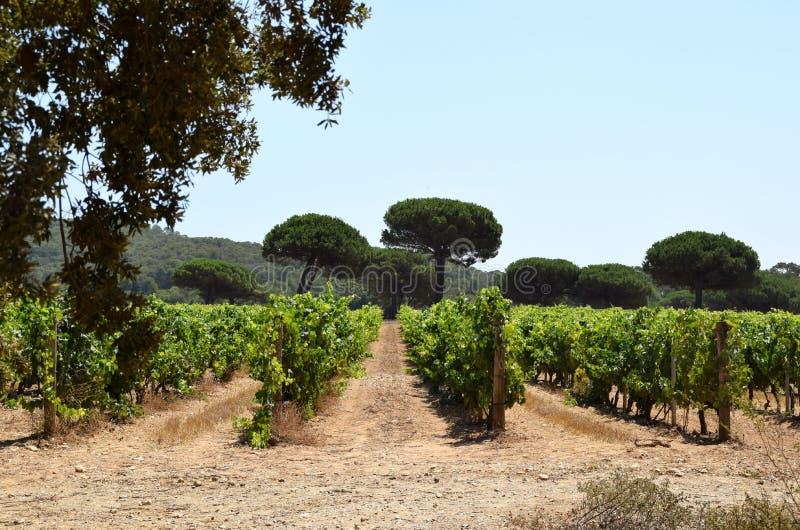 Reihen der Reben in einem Weinberg lizenzfreie stockbilder