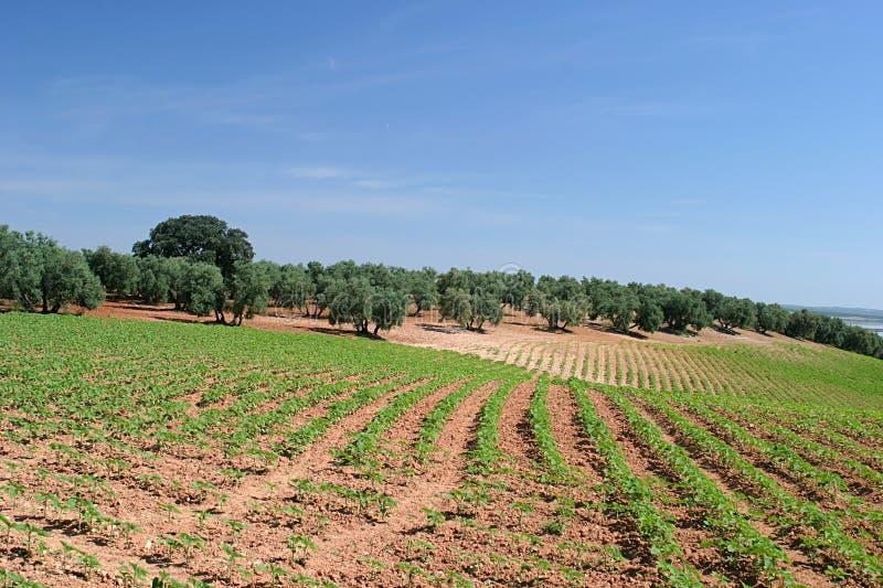Reihen der Weinstöcke im Weinberg in Spanien lizenzfreie stockbilder