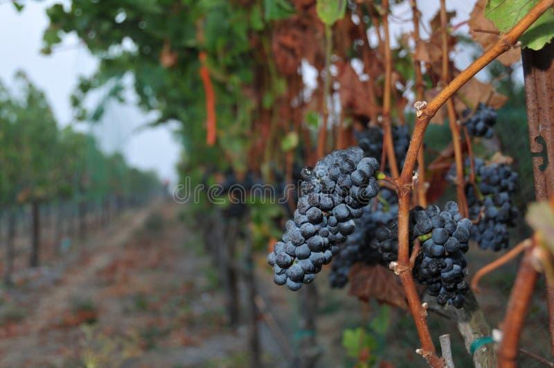 Reihen der Weintrauben nachts lizenzfreie stockfotografie
