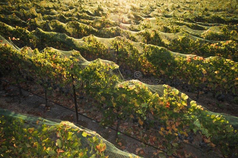 Reihen der Weintrauben am Sonnenaufgang lizenzfreie stockbilder