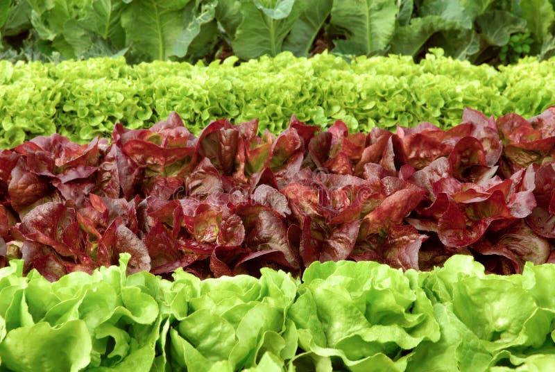 Reihen des frischen Kopfsalates auf einem Feld stockfotografie