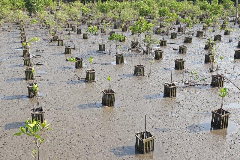 Reihen des jungen Plantagenfeldes am Mangrovenwald stockbilder