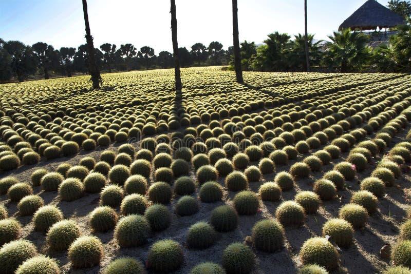 Reihen des Kaktus am Wirikuta-Wüsten-botanischen Garten Puerto Los Cabos Mexiko stockfotografie