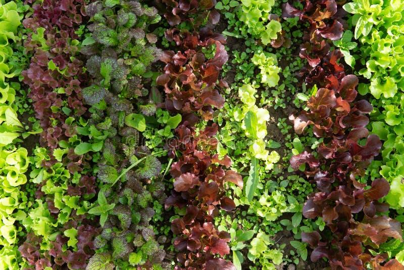 Reihen des Kopfsalates und des Senfes der verschiedenen Farben im Gartenbett lizenzfreies stockbild