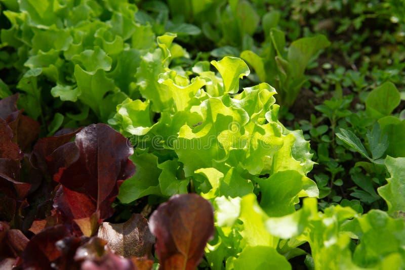 Reihen des Kopfsalates und des Senfes der verschiedenen Farben im Gartenbett lizenzfreie stockbilder