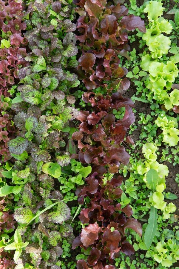 Reihen des Kopfsalates und des Senfes der verschiedenen Farben im Gartenbett lizenzfreie stockfotografie