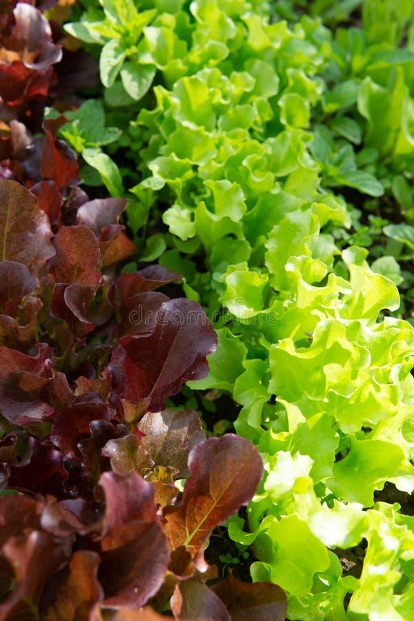 Reihen des Kopfsalates und des Senfes der verschiedenen Farben im Gartenbett stockfotos